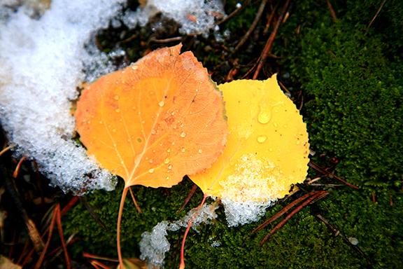 aspen-leaves
